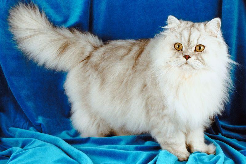 7 Flauschigste Katzenrassen Katzen Rassen Katzenrassen Igel