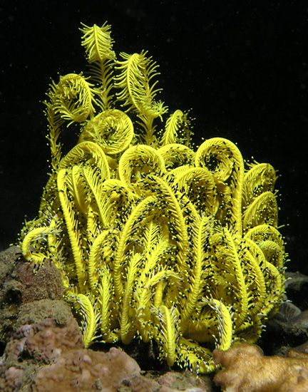 Yellow specimen of the Variable- Bushy-Feather-Star (Comanthina schlegeli) from East Timor. Like other echinoids, comatulids have pentamerous symmetry as adults though the larvae have bilateral symmetry. Late in their development, the larvae are attached to the seabed by a stalk but this is broken at metamorphosis and the juvenile crinoid is free living. The body has an endoskeleton made from a number of articulated calcareous plates known as ossicles covered by a thin epidermis