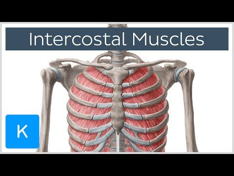 Intercostal Muscles Function Area Anatomy Human Anatomy