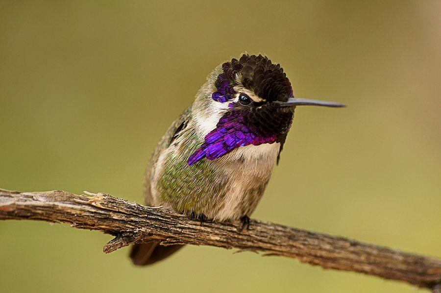 Costas Hummingbird. Photo by Arise