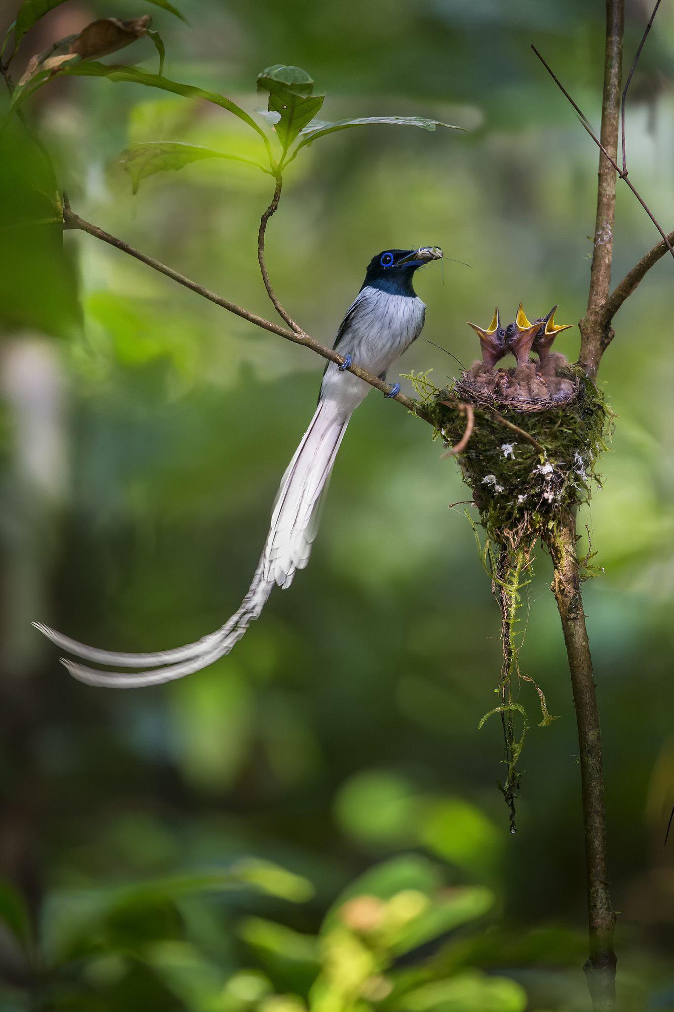 Asian Paradise Flycatcher is a mediumsized passerine