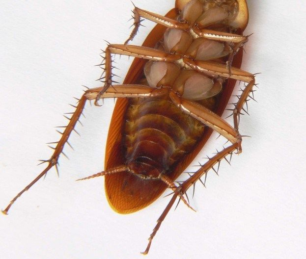 How To Get Rid Of Waterbugs Permanently Waterbugs Are Roach Like Critters That Infest A House Especially Around Near Roaches Cockroaches Get Rid Of Waterbugs