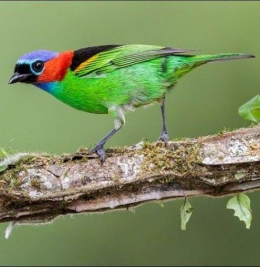 Red Necked Tanager - BRAZIL