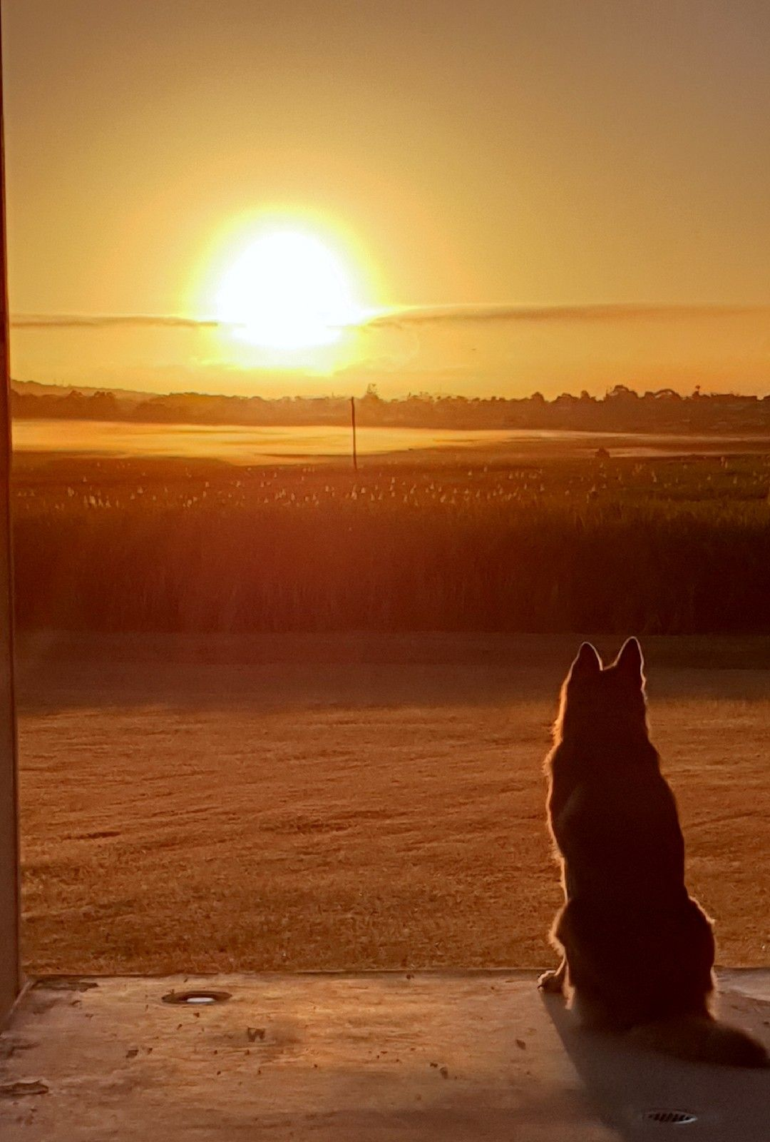 My German Shepard watching the sunset. https//ift.tt