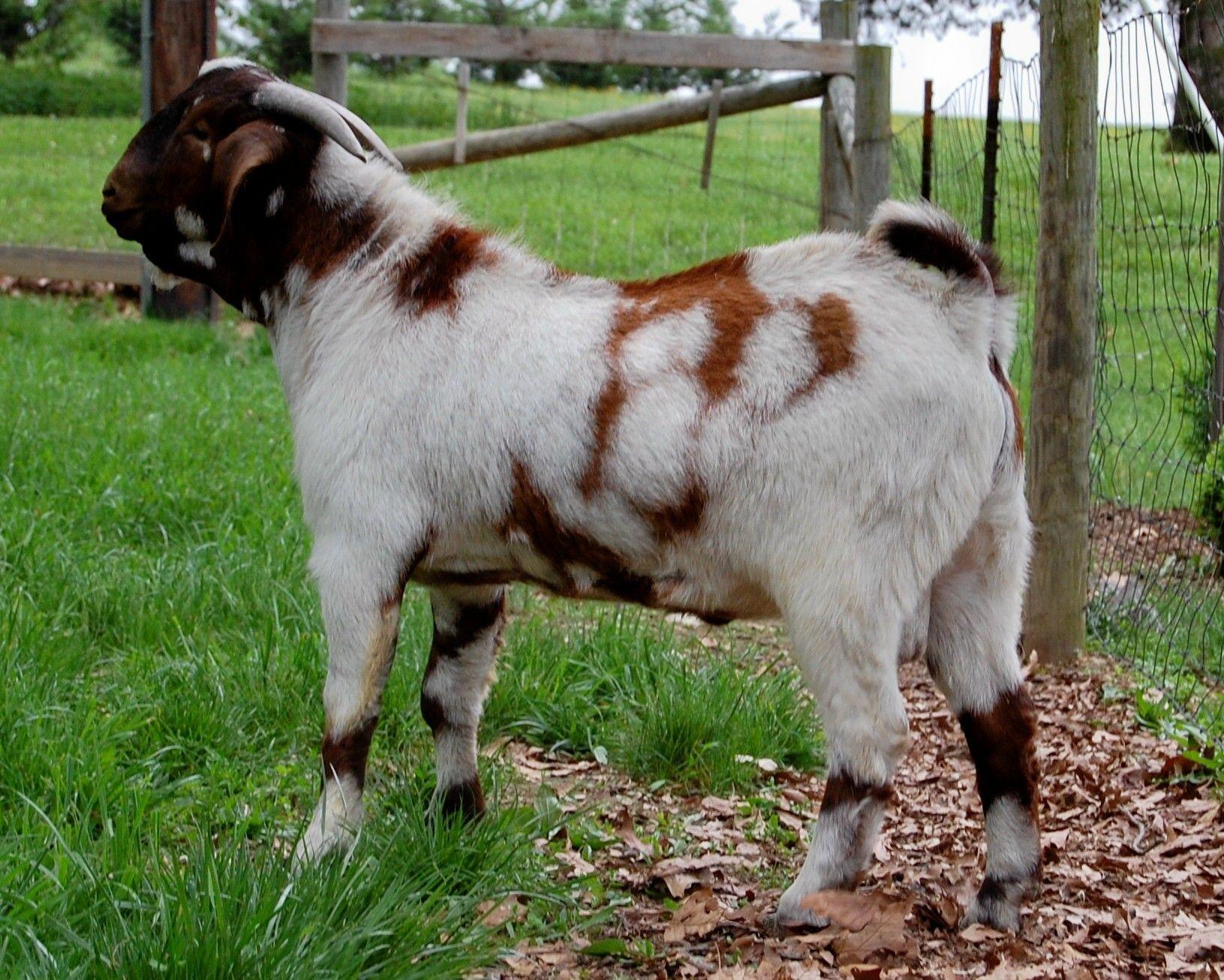 137 best boer goats images on pinterest boer goats farm animals