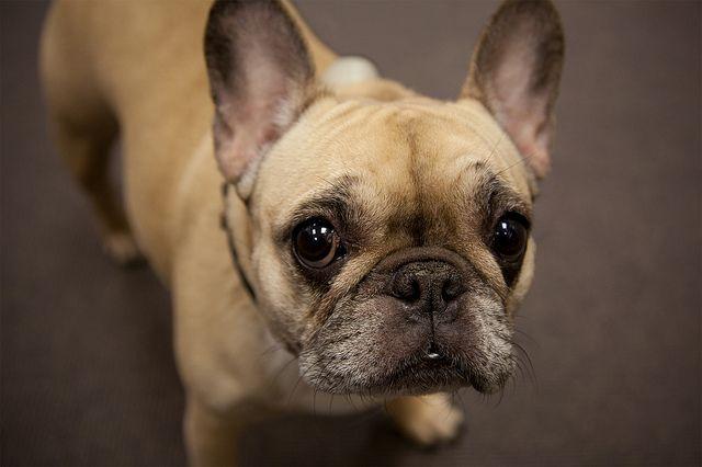 French Bulldog in New York | French bulldog, Bulldog ...