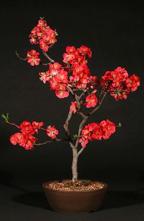 Flowering Red Quince Bonsai Tree Flowering Bonsai Tree Flowering Quince Bonsai Tree