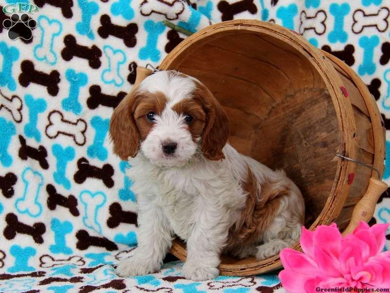 Cavapoo Puppies For Sale Embu Kenya