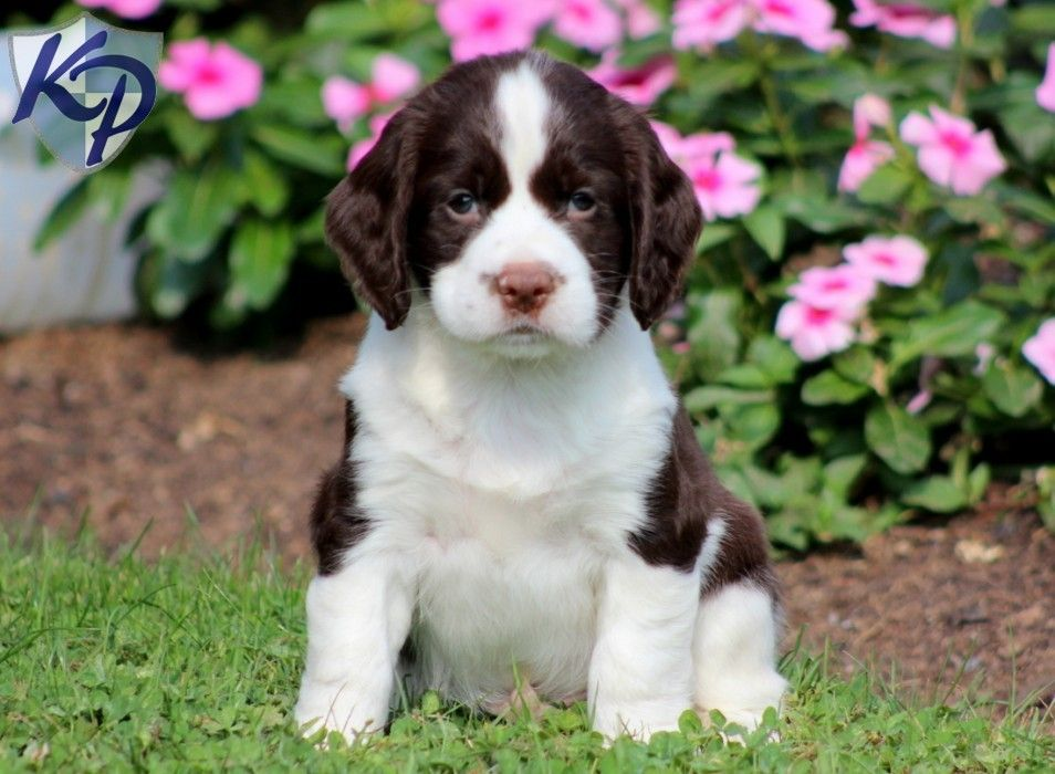 Puppy Finder Find Buy A Dog Today By Using Our Petfinder Springer Spaniel Puppies Spaniel Puppies Springer Spaniel