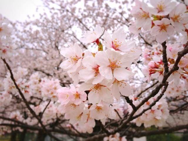 Cherry Blossom Time In Japan Cherry Blossom Blossom Japan