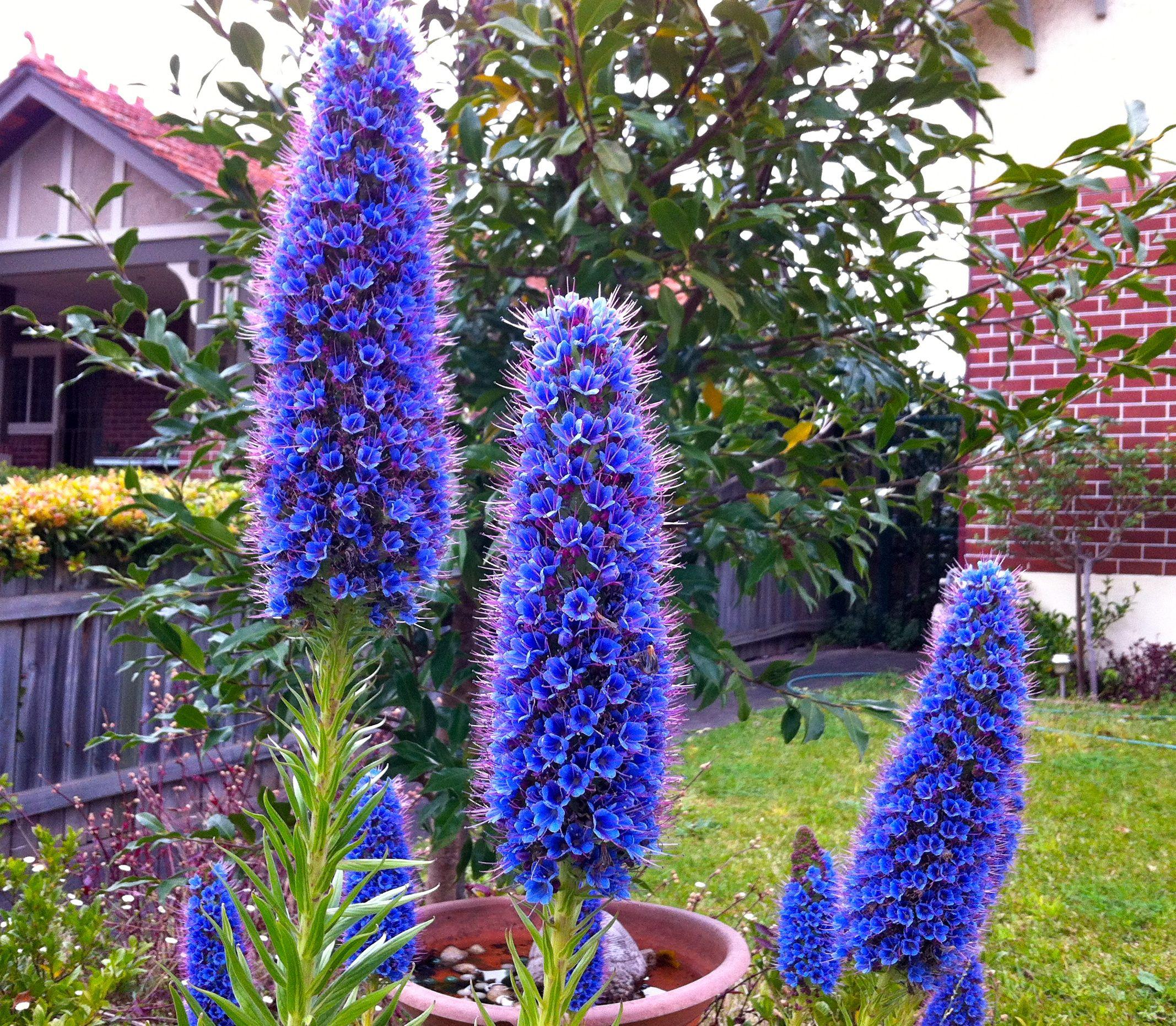 Humble flowers – a stunning Australian native called Echium
