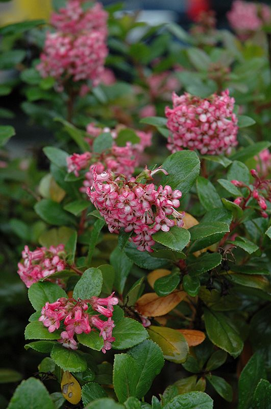 Newport Dwarf Escallonia At Squak Mountain Nursery