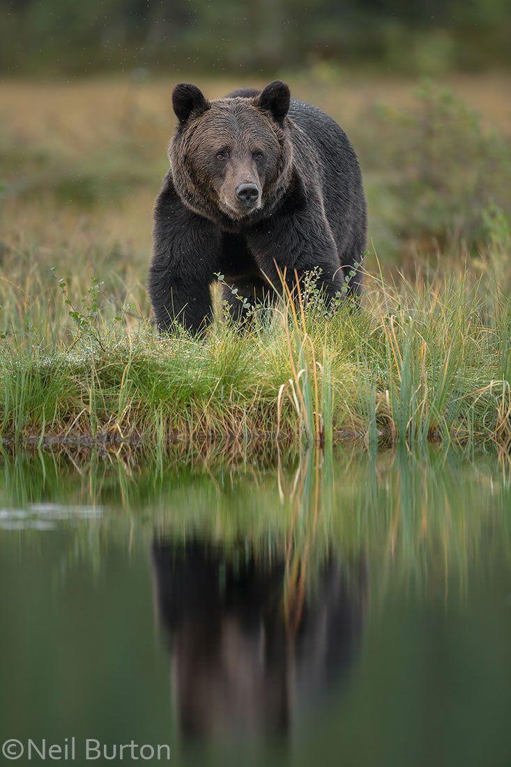 Boreal Bear Another Finland Bear Not Paddington Bear Brown Bear Love Bear