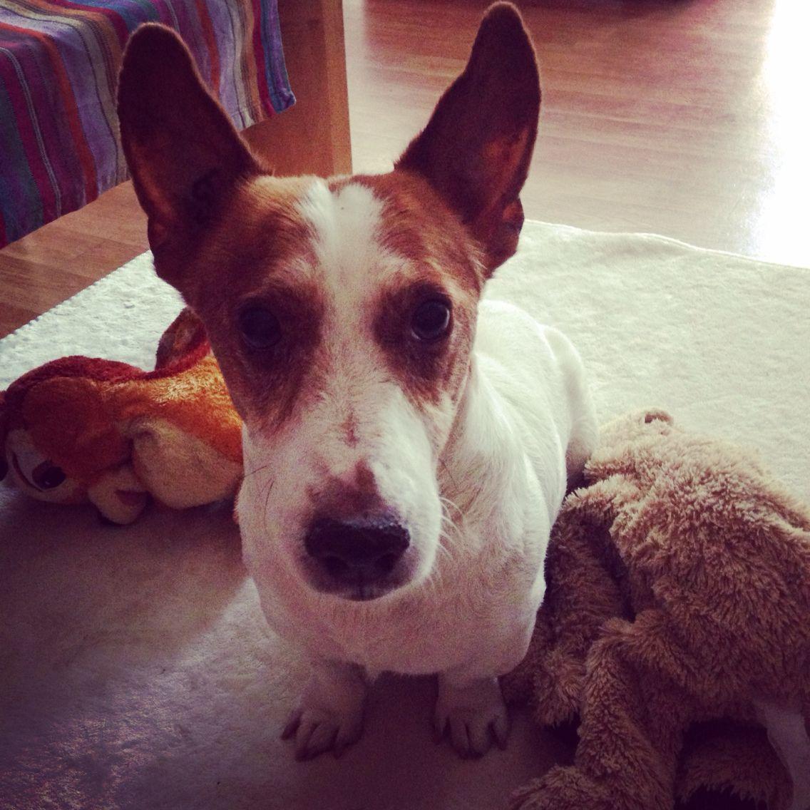 #jackrussel  #chien #catsitting #lille #petsitting #lille #dogsitting #lambersart #lamadeleine #dogsitter #promenade