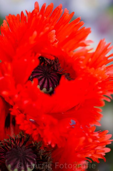 Photo Papaver Orientale Turkenlouis Turkischer Mohn By Tina Horst Herzig Photography Mit Bildern Turkischer Mohn Mohn Turkisch