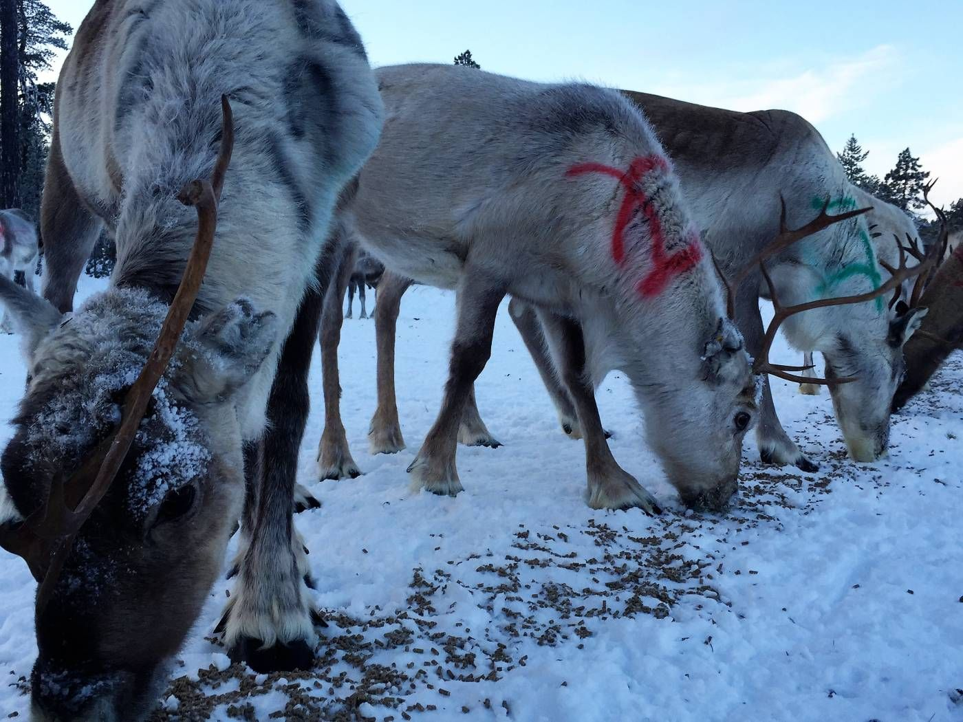 Can the Sámi survive climate change and logging? Climate