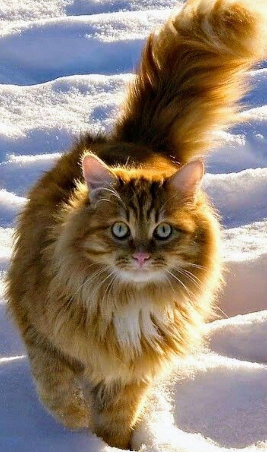Orange Norwegian Forest Cat in the snow - not cold at all #cat #orangecat #norwegianforestcat ...