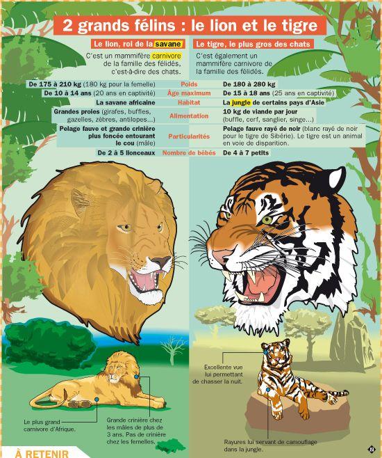 deux grands f lins le lion et le tigre les tigres lion et felin. Black Bedroom Furniture Sets. Home Design Ideas