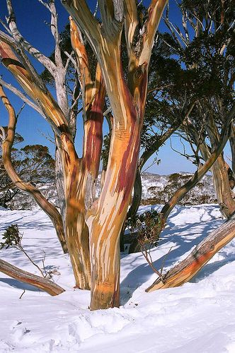 Snow Gum Tree Australia Australian Trees Unique Trees