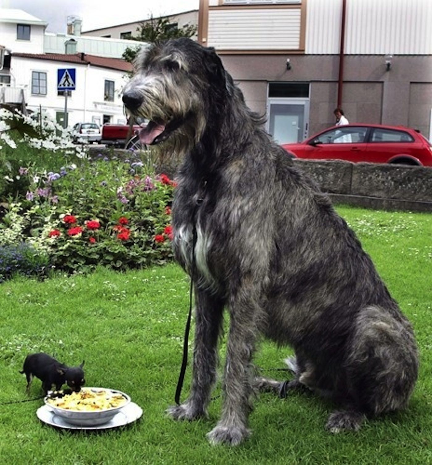 The Largest And The Smallest Dogs In The World Giant Dogs Irish Wolfhound Wolfhound