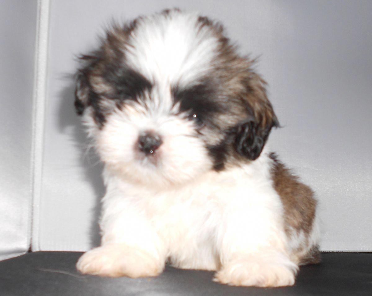 Awesome Shih Tzu Puppies 3 Females 4 Males Ckc Shihtzupups