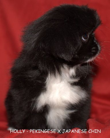 Pets And Puppies For Sale Mount Lawley Pets And Puppies Pekingese Puppies Pekingese Pekingese Mix