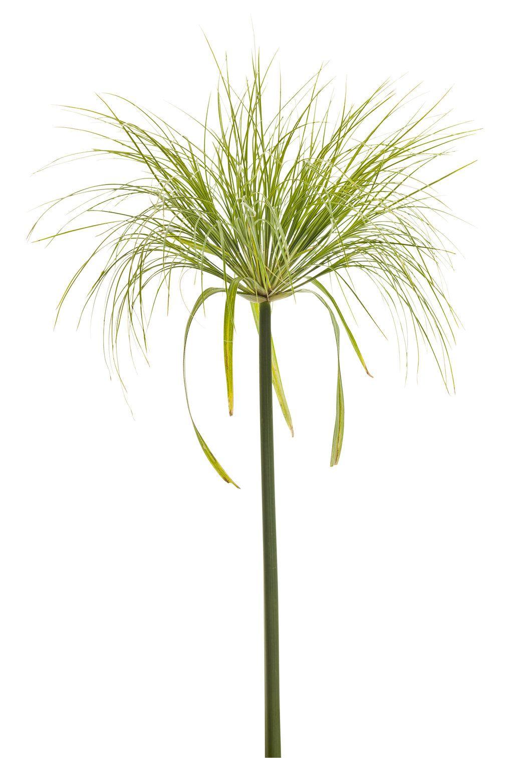 Graceful Grasses King Tut Egyptian Papyrus Cyperus