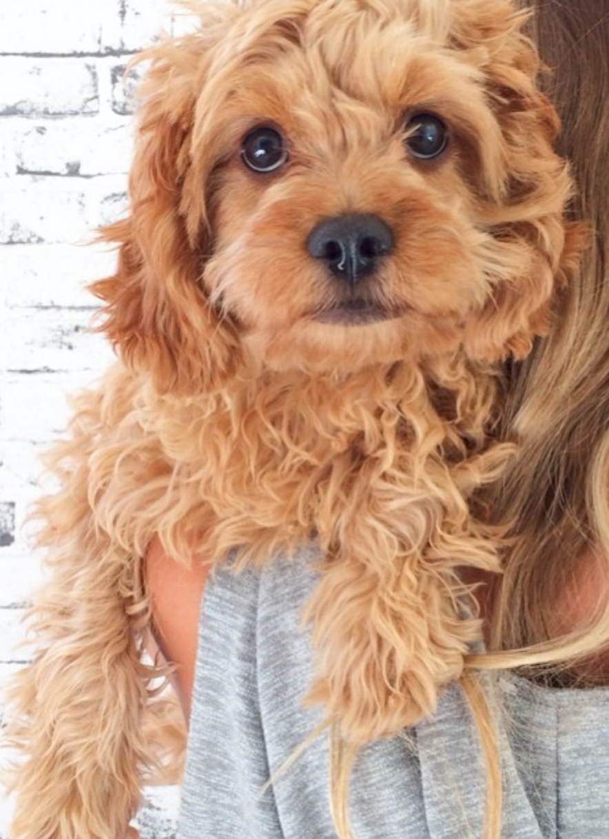 Actually The Cutest Cavoodle I Ve Ever Seen Pinned By Myoodle Com Cavapoo Puppies Animals Cute Dogs