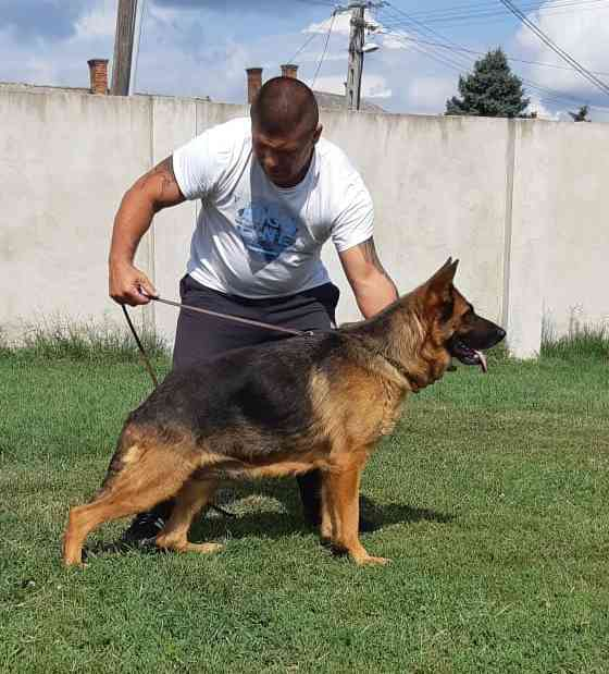 German Shepherd Adult For Sale Black German Shepherd Dog German Shepherd Dog Kennels For Sale