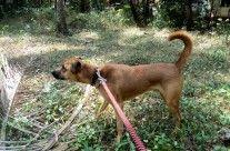 Kombai Dog Photos Dog Photos Photo Dogs