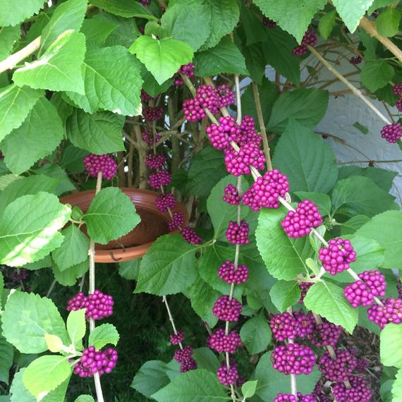 American Beautyberry Plant French Mulberry Callicarpa Americana