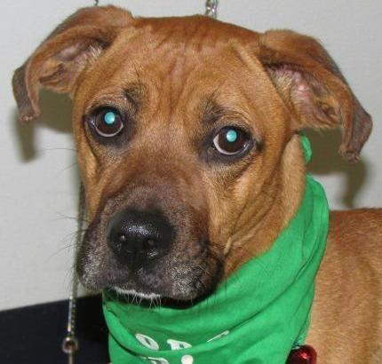 Meet Duff Urgent, a Petfinder adoptable Boxer Dog