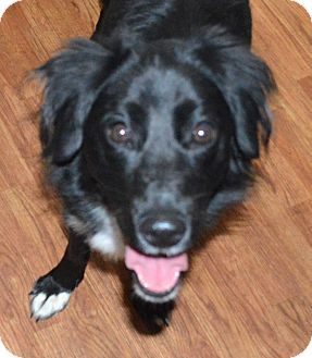 Border Collie Flat Coated Retriever Mix Dog For Adoption In