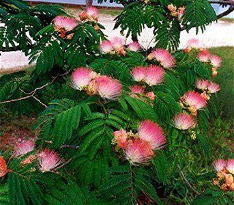 Shrub And Tree Seeds Albizia Distachya Julibrissin Mimosa Pink White Allamanda Nerifolia Bush Mimosa Tree Pink Trees Tree Seeds