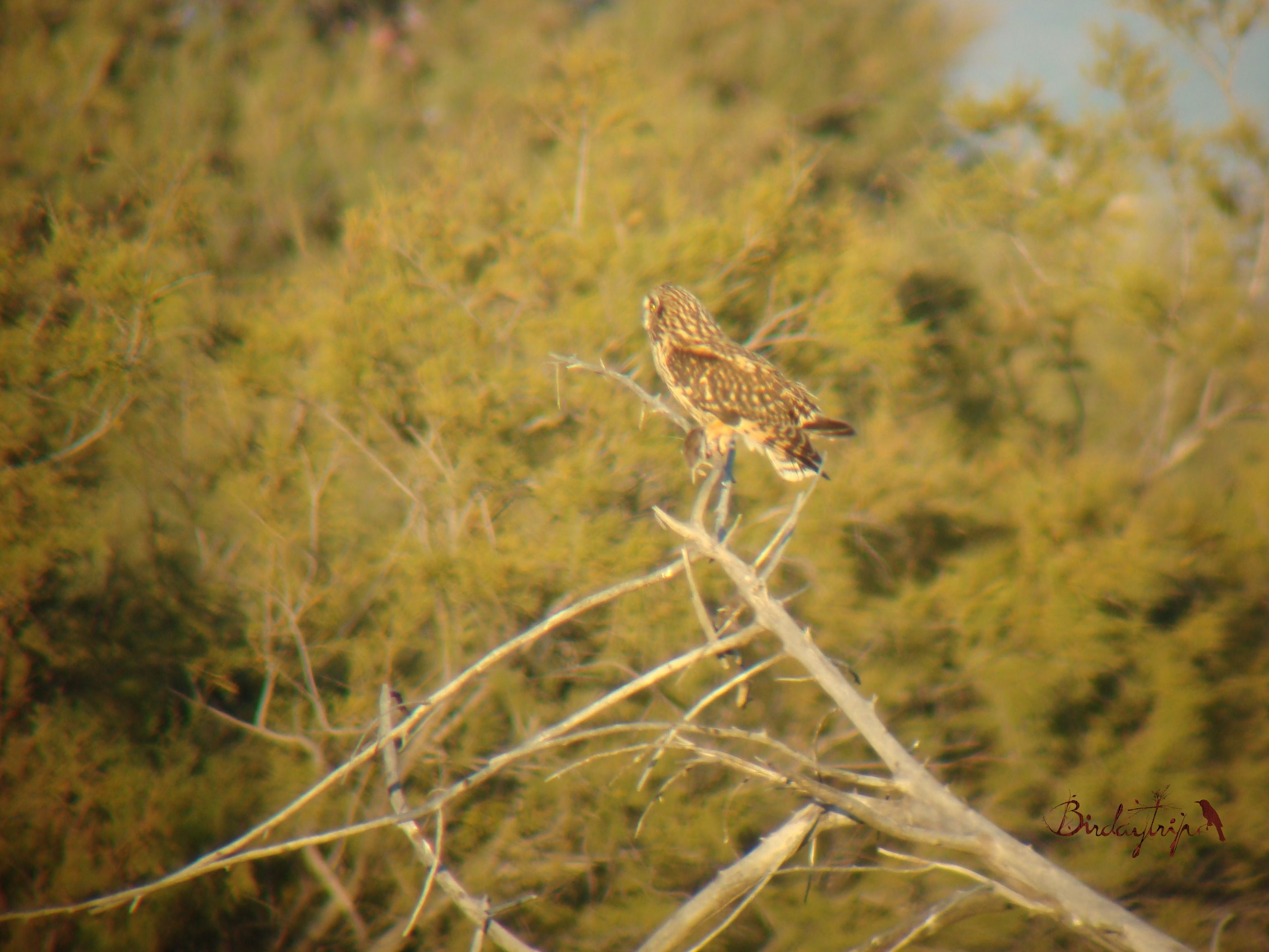 Short-eared Owl, Búho campestre (Asio flammeus)