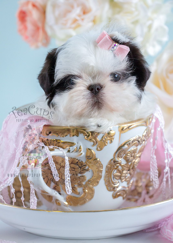 Shih Tzu Puppy by Teacups Puppy Boutique! Shih tzu puppy
