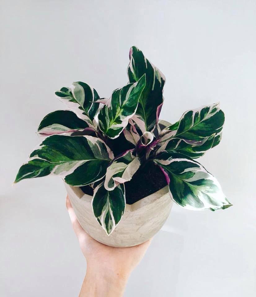 Le Calathea White Fusion Est Une Magnifique Plante Originaire D