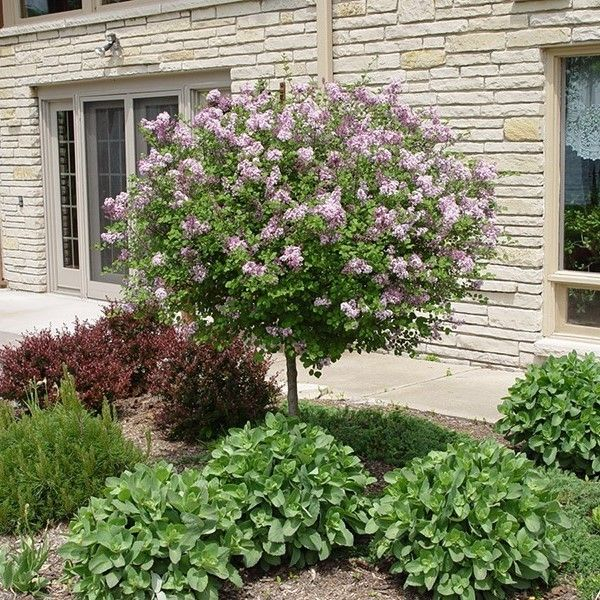 Dwarf Korean Lilac Tree Lilac Tree Korean Lilac Tree Dwarf Korean Lilac Tree