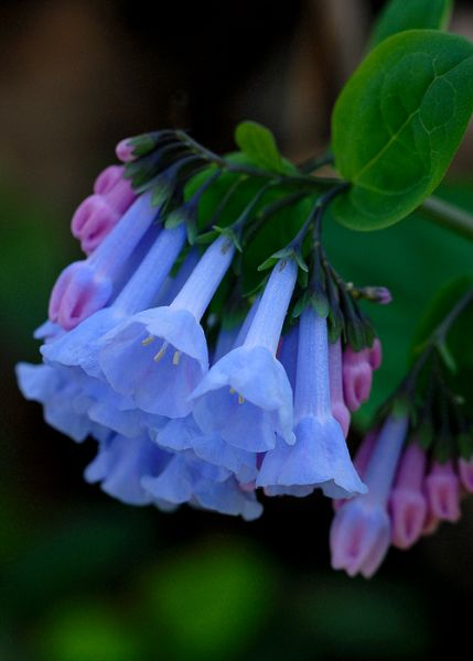 Virginia blue bells i love them we have planted many in the yard virginia blue bells i love them we have planted many in the yard partial to full shade 1 2 feet pink bells open up to blue flowers mightylinksfo