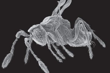 New Fairy Insect Is Mind Blowingly Small With Images Tiny