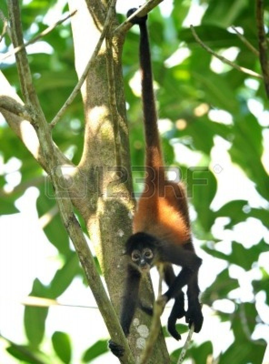 juvenile male spider monkey hanging from tree by tail ...