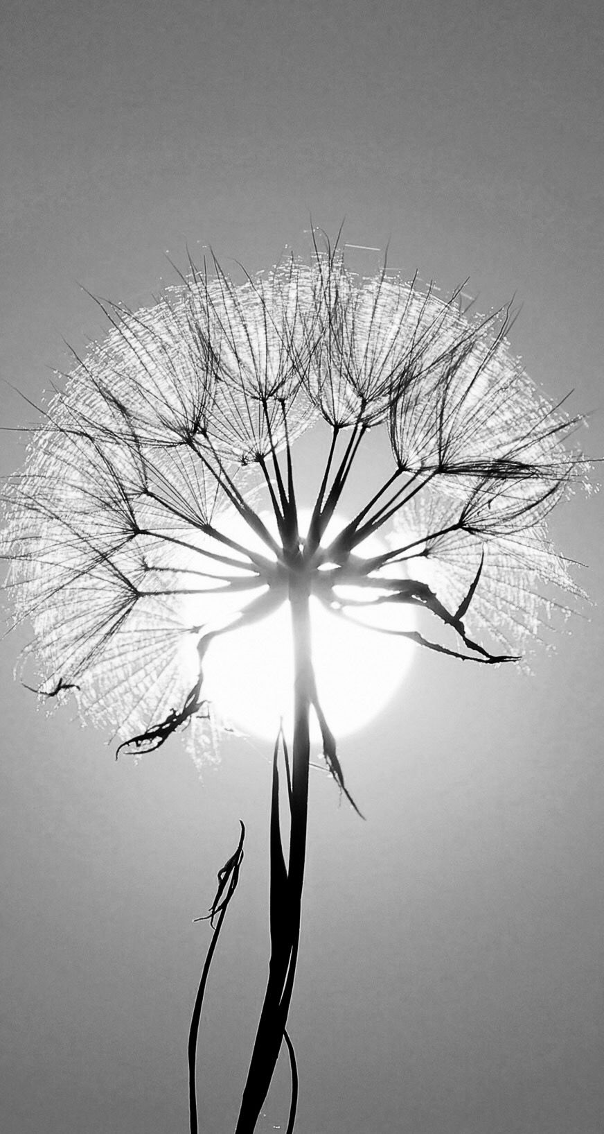 Dandelion In 2020 White Photography Black And White Photography Flowers Photography