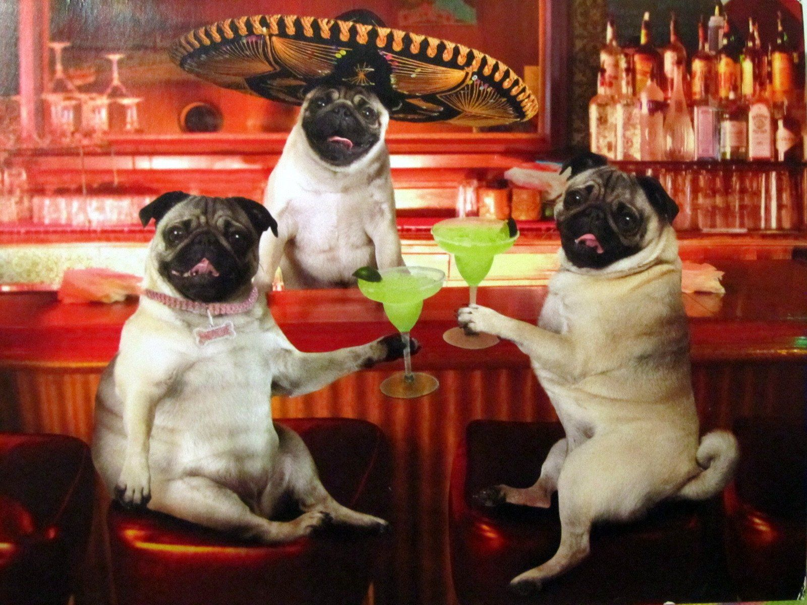 Ain T No Party Like A Mexican Pug Party Haha Two Of My Favorite