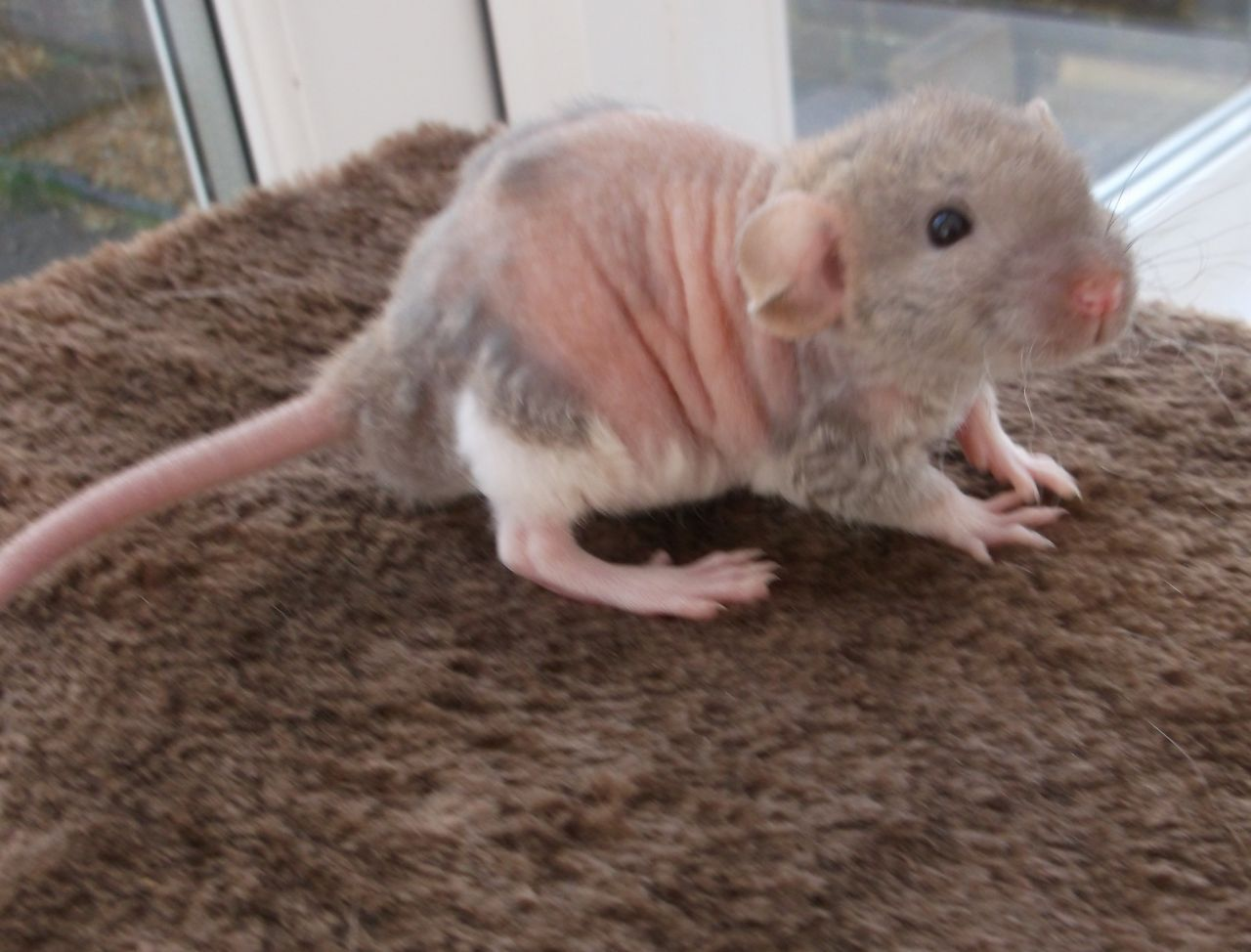 Russian blue rex agouti and siamese dumbo rat … | way too ...