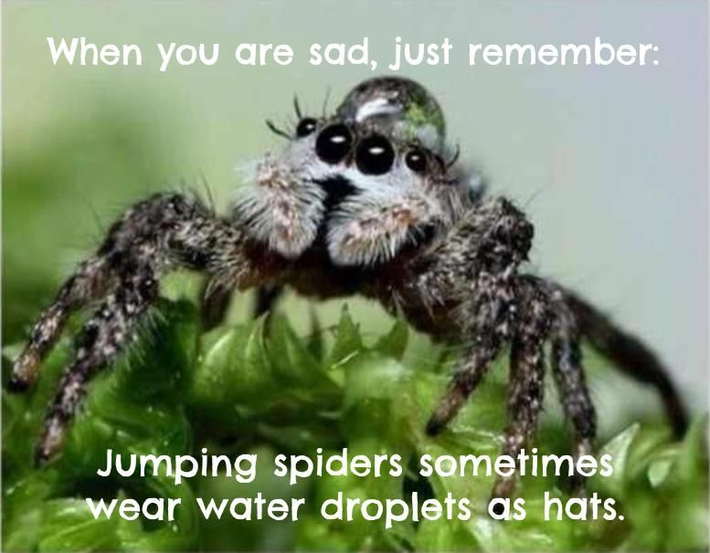 When You Are Sad Just Remember Jumping Spiders Sometimes Wear