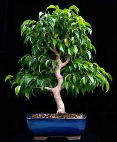 Ficus Tecnhiques 20: How to create a bonsai from raw stock?