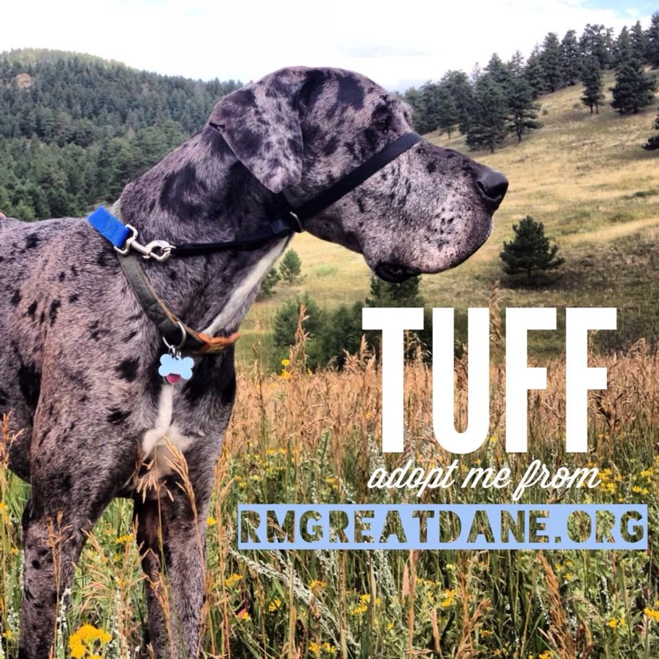 Meet Tuff Available For Adoption At Www Rmgreatdane Org Great