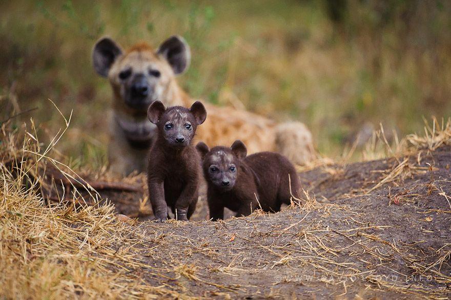 Resultado de imagen de hyena pup photography