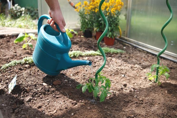 10 Tipps Fur Den Anbau Von Tomaten Tomaten Garten Tomaten Gewachshaus Tomaten Pflanzen