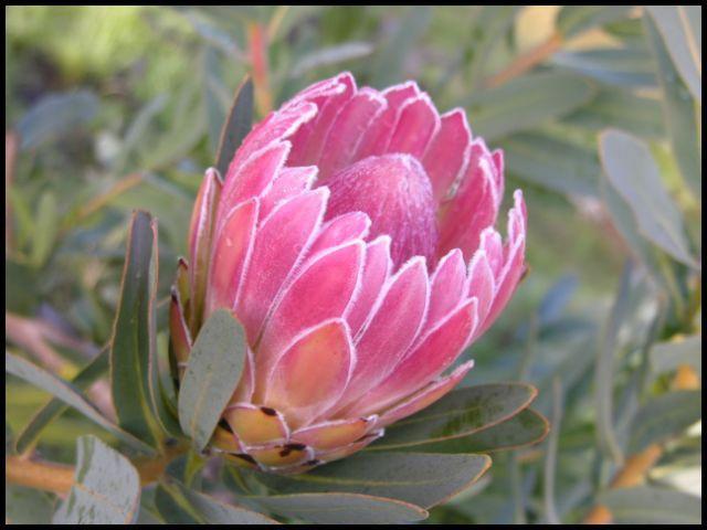 California Protea Association Protea Care Page Flowers Flower Farm Trees To Plant